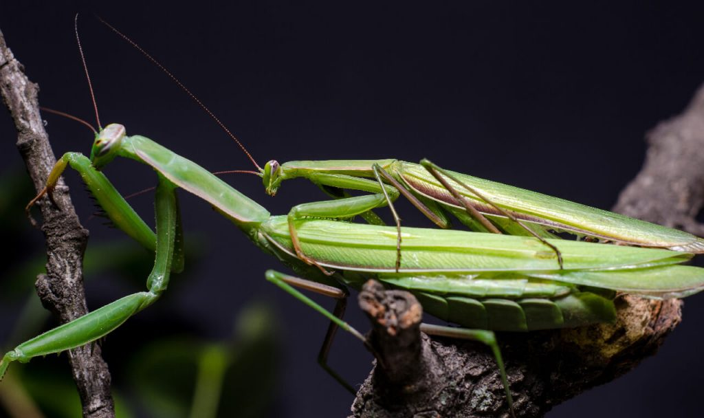 Mating Praying Mantises